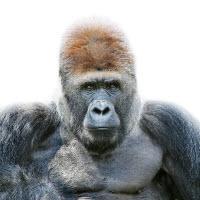 110905 Gorilla Portrait-by-morten-koldby